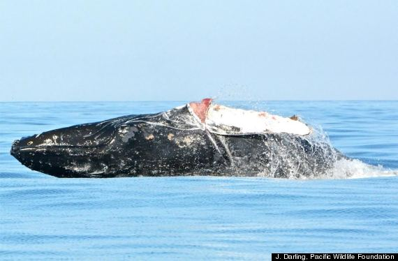 humpback whale tofino