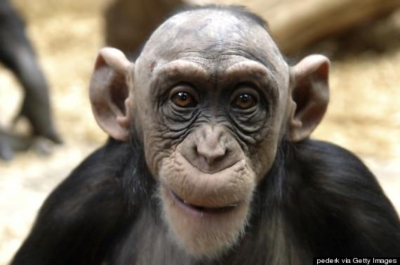 bald chimp