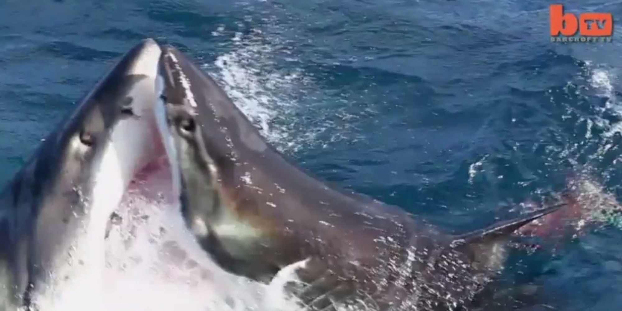 CAUGHT ON VIDEO: Great White Sharks In Epic Fight