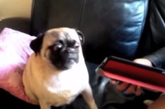 Pug sitting | Pic: YouTube