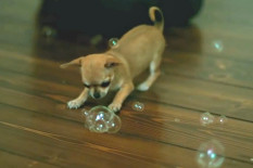 Chihuahua with bubbles | Pic: YouTube