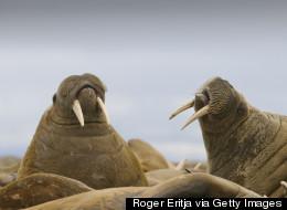 Morses et caribous «menacés de disparition» en Arctique