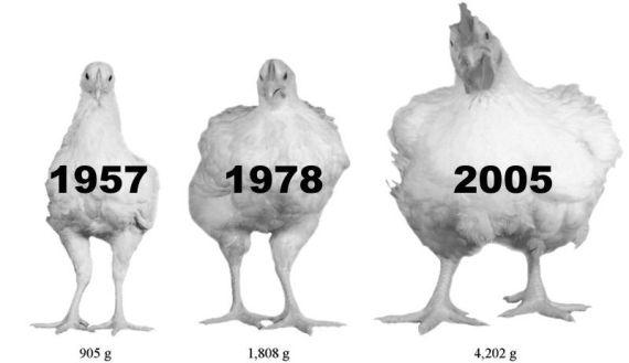 poulets poids