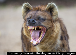 Hyena Mating Fails ... Because Both Are Males