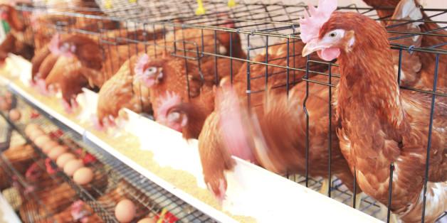 Undercover Investigation Reveals Shocking Animal Cruelty