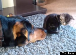 Tiny Kitten Refuses To Play With Huge Dog Desperate For Attention