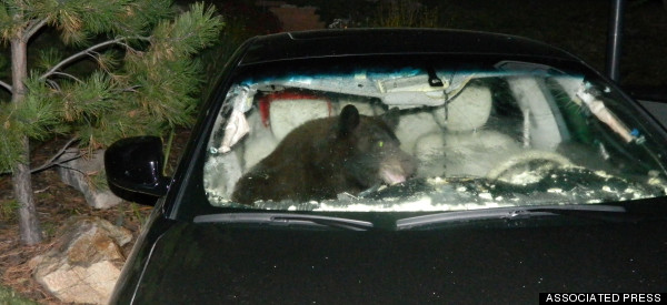 Friends Don't Let Bears Drive Cars (PHOTO)