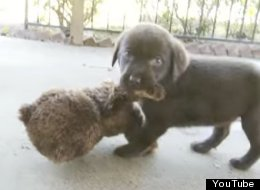 Puppies vs Teddy Bear: Let The Adorable Battle Commence
