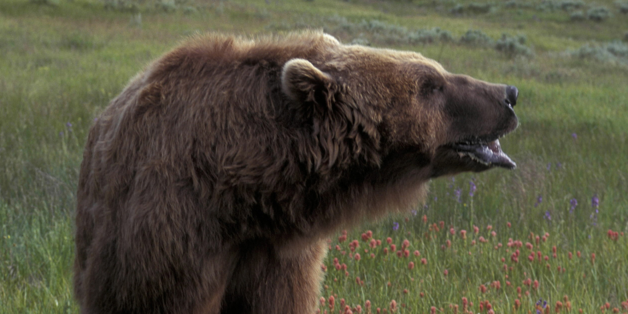 Grizzly Bear Attacks On Vancouver Island