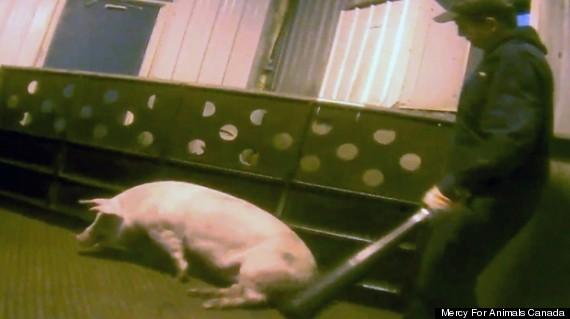 hog abuse