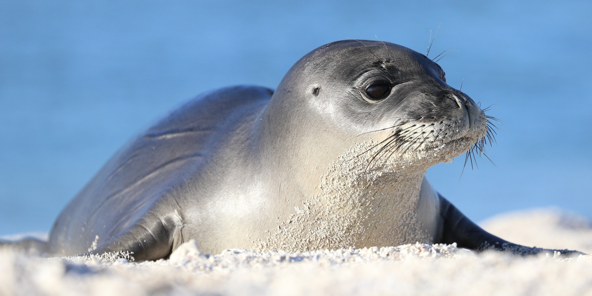 the hawaiian monk seal an endangered species The hawaiian monk seal is listed as endangered: fun facts: 1 there are two living species of monk seals: hawaiian monk seal (monachus schauinslandi) .