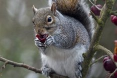 A grey squirrel | Pic: Getty