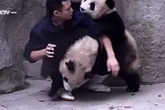 Zookeeper with pandas | Pic: YouTube