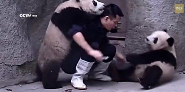 Man Tries To Feed Medicine To Pandas; Pandas Have Other Ideas