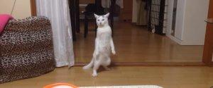 MOMOTARO CAT WALKS BACKWARDS UPRIGHT