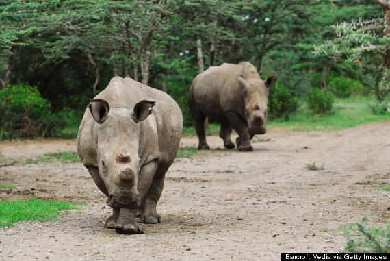 suni white rhino
