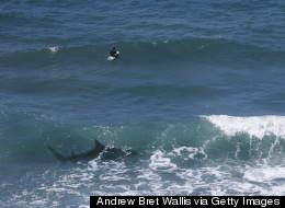 http://i.huffpost.com/gen/2187550/thumbs/s-SHARK-SURFER-large.jpg
