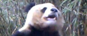 MASTURBATING PANDA