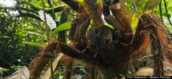 This Puppy-Sized Spider Make Us Want To Cuddle (PHOTOS)