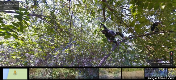 chimpanzee street view