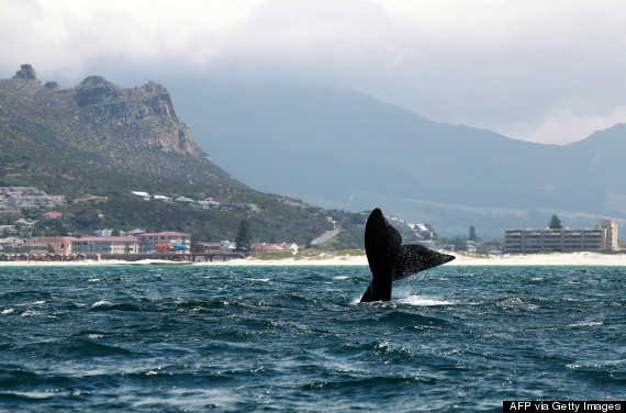 cape town whales