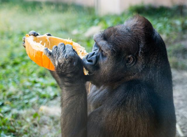 gorillapumpkin