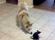 This Husky Is Really Spooked By A Fake Rat