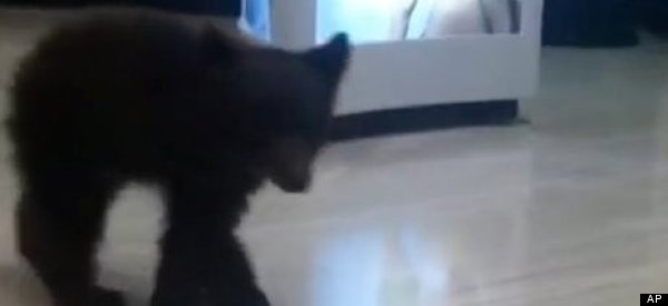 Bear Found Ambling Through Drug Store Aisles Sent To Rehab