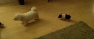 TINY PIG FOLLOWS DOG