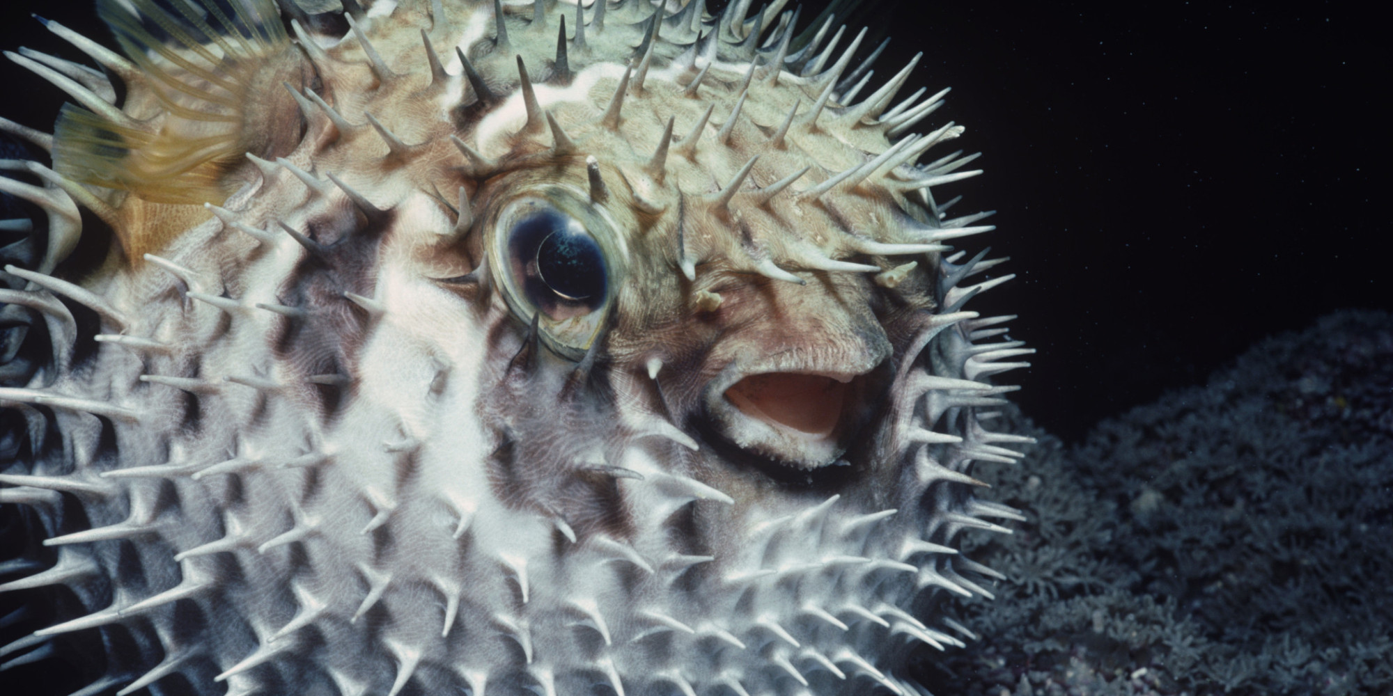Deadly pufferfish poison hospitalises 11 members of for A puffer fish