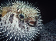 11 Family Members Hospitalised After Unwittingly Eating A Deadly Pufferfish