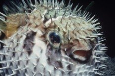 A pufferfish