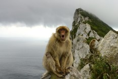 A Gibraltar ape | Pic: Getty