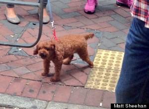 puppy proxy brown