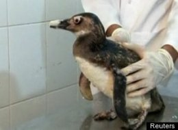 Baby Penguin New Beak