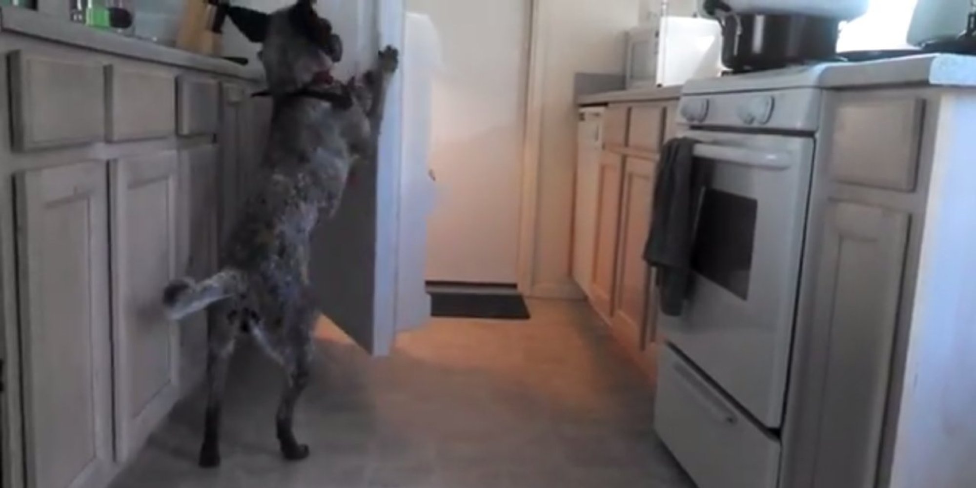 Man Trains Dog To Bring Him Beer From The Fridge Dog Even
