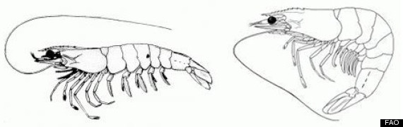 shrimp comparison
