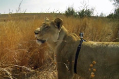 Lioness with GoPro | Pic: YouTube