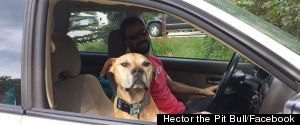 HECTOR THE PIT BULL