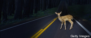 ANIMAL ON A ROAD