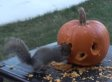 WATCH: These Squirrels Carved A Face In A Pumpkin