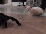 Kitten Takes On Spooky Remote-Controlled Spider
