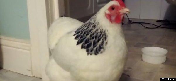 chicken sneeze