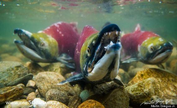 sockeye salmon bc