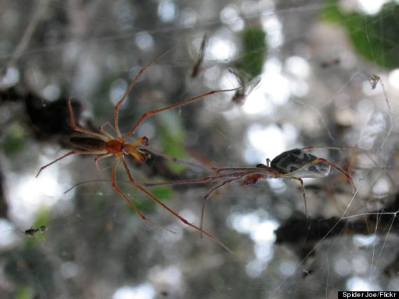 tetragnatha guatemalensis