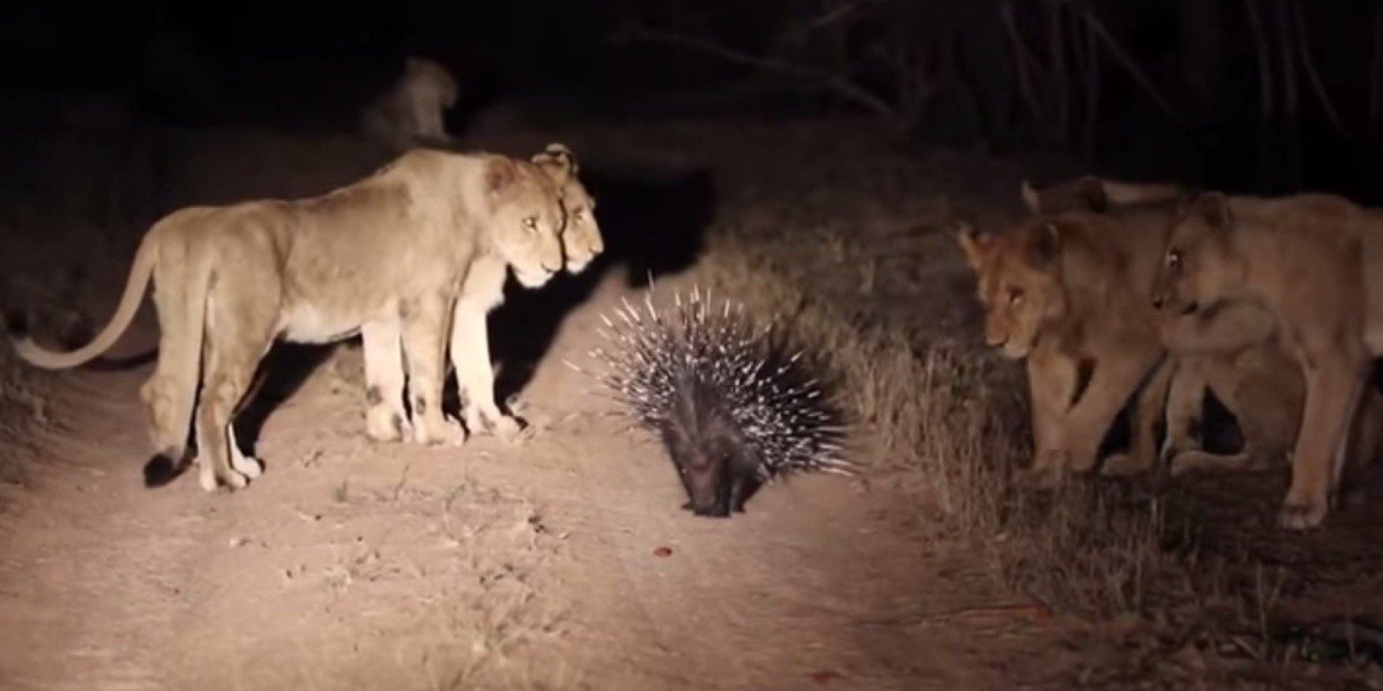 Badass Porcupine Fights Off Pride Of 17 Lions In South Africa