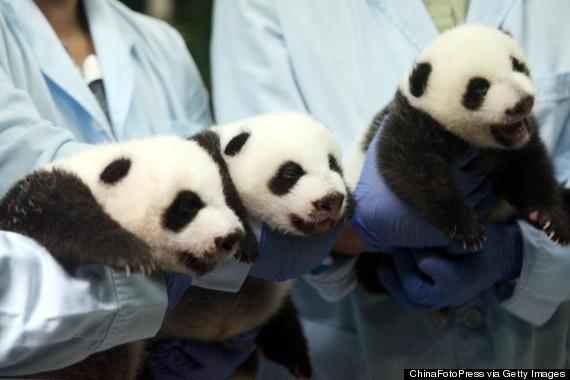 panda triplets