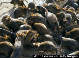 How Many Rats Does New York City <em>Really</em> Have?