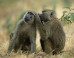 The 'Human' Quality We Share With Baboons