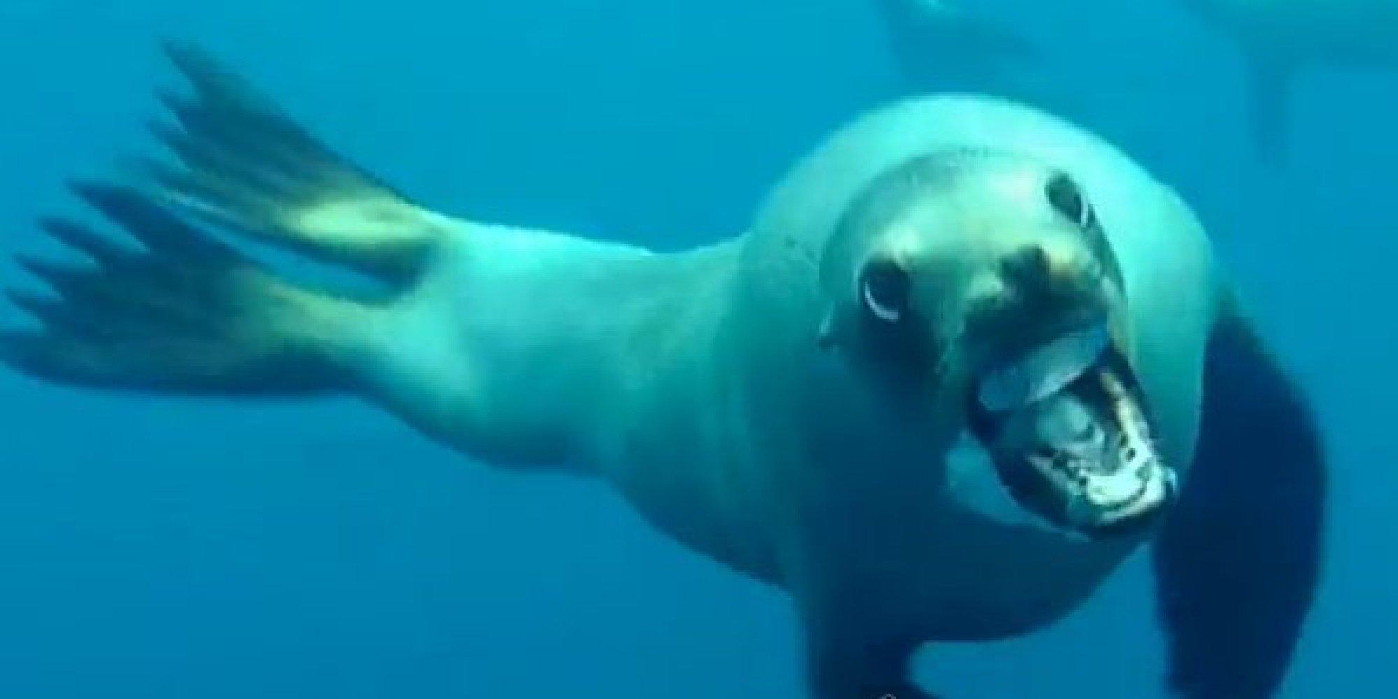 Sea Lion Attacks Diver Off Santa Barbara Coast (VIDEO ...